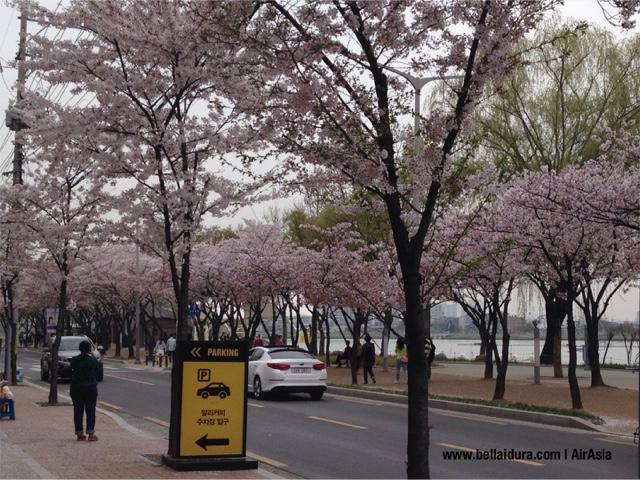 TAMAN SAKURA,  DI KOREA , Suseong Lake Daegu, AirAsia