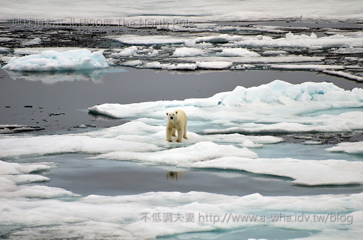 【地球頂點正北極旅遊】核子動力破冰船~第二次與北極熊的近距離相遇(二部曲)