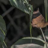 Fountainea nessus (Latreille, [1813]). Macanal, 1368 m (Boyacá, Colombie), 1er novembre 2015. Photo : B. Lalanne-Cassou
