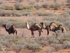 wildlife-camels-2.jpg