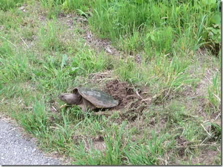 traverse_city_gopher_tortoise
