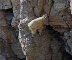 kambing gunung mencari makan