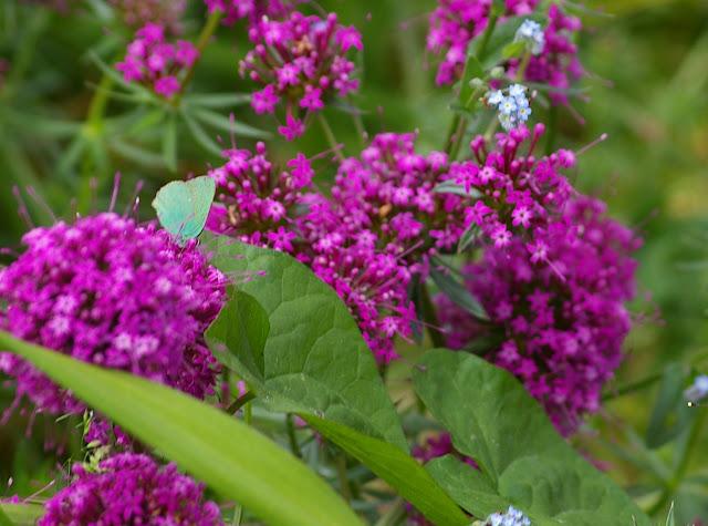 Callophrys rubi LINNAEUS, 1758, dans le jardin. Les Hautes-Lisières, 29 mai 2009. Photo : J.-M. Gayman