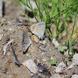 À gauche : Polyommatus escheri (Hübner, 1823), mâles. À droite : Polyommatus icarus (Rottemburg, 1775), mâle. Les Hautes-Courennes (430 m), Saint-Martin-de-Castillon (Vaucluse), 17 juin 2015. Photo : J.-M. Gayman