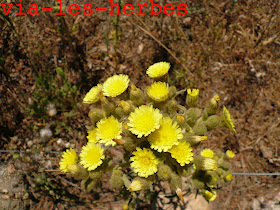 Andryala a feuilles entieres, Andryala integrifolia .jpg
