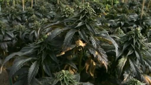 marihuana-yasallasti