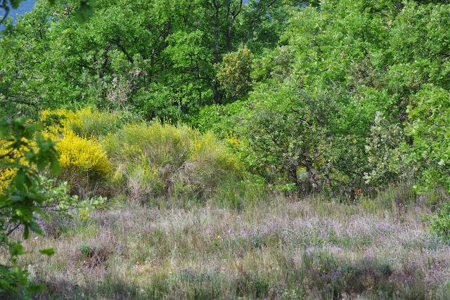 Biotope de Zerynthia rumina (L., 1758). Plateau de Coupon (511 m), Viens (Vaucluse), 12 mai 2014. Photo : J.-M. Gayman