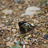 Pieriballia viardi tithoreides (BUTLER, 1898). Vallėe du Rio Guallupe, 1400 m (El Limonal, Imbabura), 5 décembre 2013. Photo : J.-M. Gayman