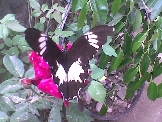 Papilio nephelus albolineatus FORBES, 1885, Samarinda, Kalimantan Timur. Photo : Wempi