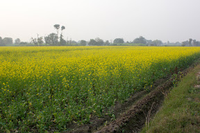 The Roadside view of the fields leading to  Nankana Sahib  city