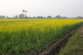 The Roadside view of the fields leading to  Nankana Sahib  city