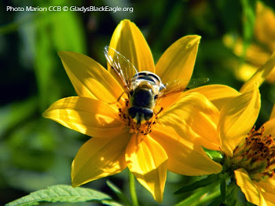 Varieties of sunflowers attract many different types of pollinators, such as this hoverfly. This is one that would easily be mistaken for a bee.
