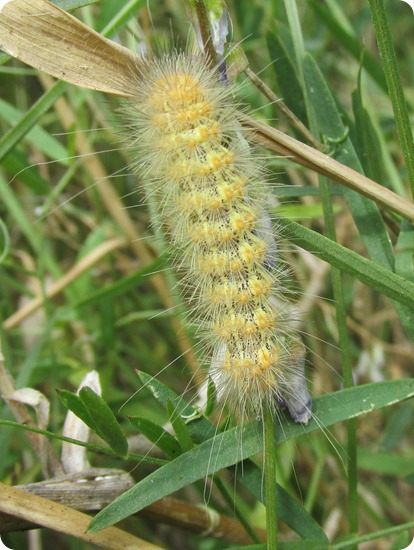 Salt Marsh Caterpillar - Yellow (1)