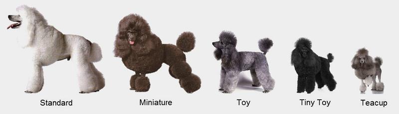 Mua chó poodle | chó poodle giá bao nhiêu