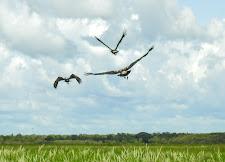 Magpie geese, Carmor Plains, NT