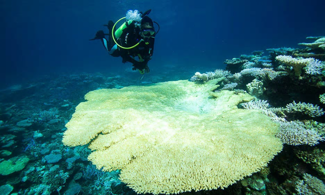 A large, severely bleached coral table at Scott Reef, Western Australia, in mid-March 2016. Research divers are assessing the extent and severity of the bleaching by conducting surveys at several sites across the reef. The Greens have called on the government to urgently implement marine reserves. Photo: Nick Thake / AIMS