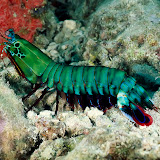 Mantis Shrimp, Solomon Islands