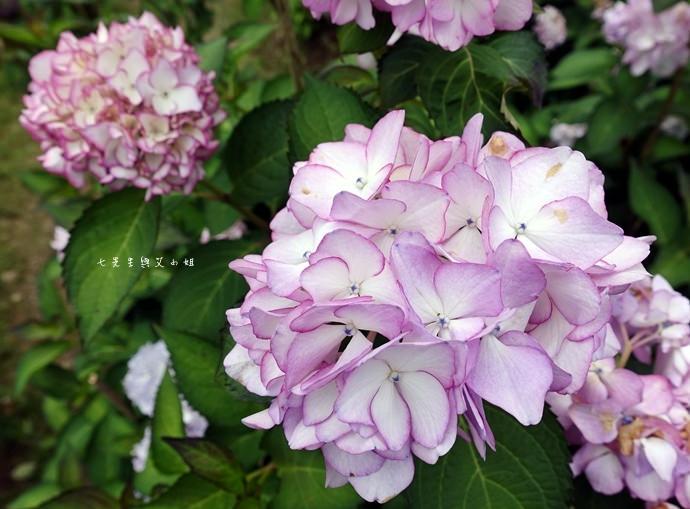 17 陽明山 繡球花 大梯田 竹子湖