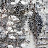Poplar-bark_MG_2567-copy.jpg