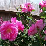 Gardening 2013 - 115_5700.JPG