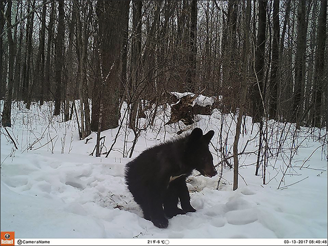 An emaciated Asiatic black bear in eastern Russia. Logging and global warming have been blamed for bear population declines in 2015 and 2016. Photo: Sergey Kolchin / Priamurye Nature Reserve