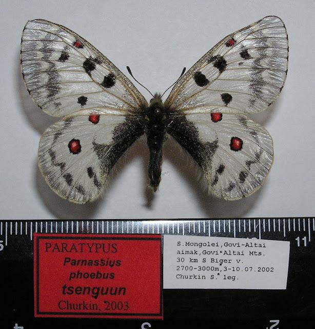 Parnassius phoebus tsenguun CHURKIN, 2003, femelle, paratype. Dist. de Govi-Altaï, SW de la Mongolie. Photo : R. Yakovlev.