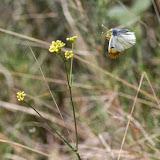 Anthocharis belia (L., 1767), femelle. Le Vigier, près de Lagorce (Ardèche), 19 avril 2014. Photo : L. Voisin