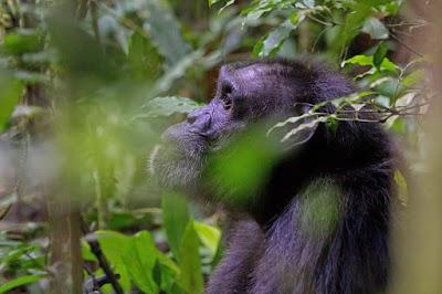 Chimpansee 1.jpg