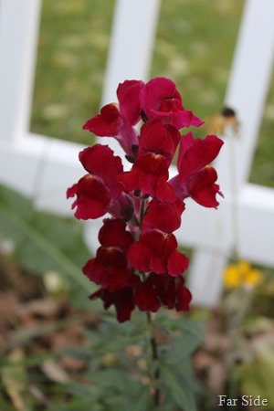Snapdragon in Jens garden