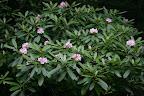 Great Rhododendron in Hidden Valley
