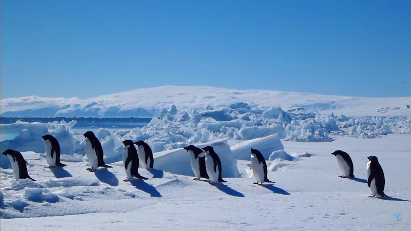 adelie penguins sea ice antarctica