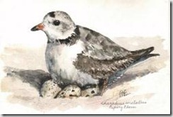 Alec Earnshaw-Piping_Plover_Charadrius_melodius_th