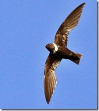 andorinhao-ibitipoca