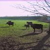koeien 001.jpg