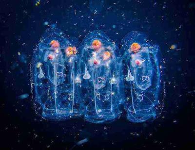 समुंद्र की दुनिया | कांच की तरह पारदर्शी दिखने वाले 5 समुंद्री जीवों के बारे में