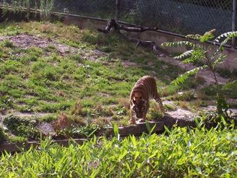 2007.07.05-006 tigre du Bengale