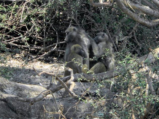 Monkeys in Chobe