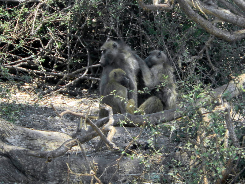 Monkeys in Chobe