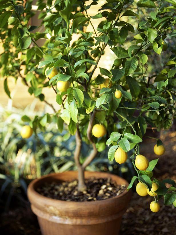 Mách bạn cách trồng chanh tại gia dễ như trở bàn tay - 15