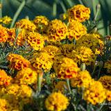 Бархатцы (Tagetes sp.)