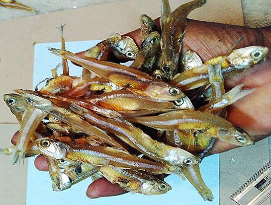 dry fish-anchovies (12)