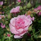 Gardening 2012 - 115_1740.JPG