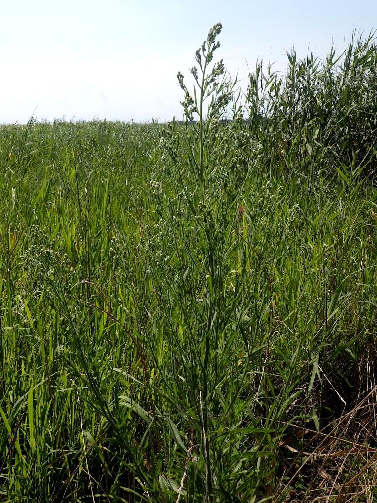 オオアレチノギクの草姿