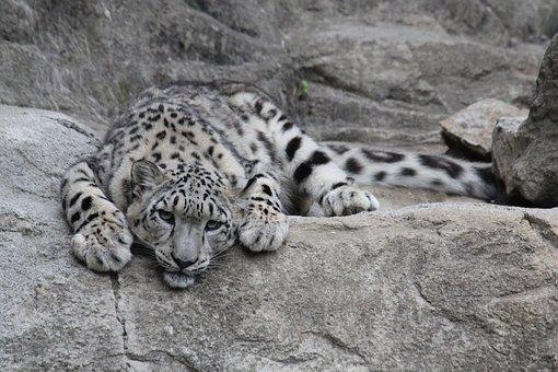 Leopardo De Las Nieves Fotos - Descarga imágenes gratis - Pixabay