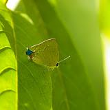 Lycaenidae : Ostrinotes tarena HEWITSON, 1874. Entre Popote et Saül (Guyane), 1er décembre 2011. Photo : J.-M. Gayman