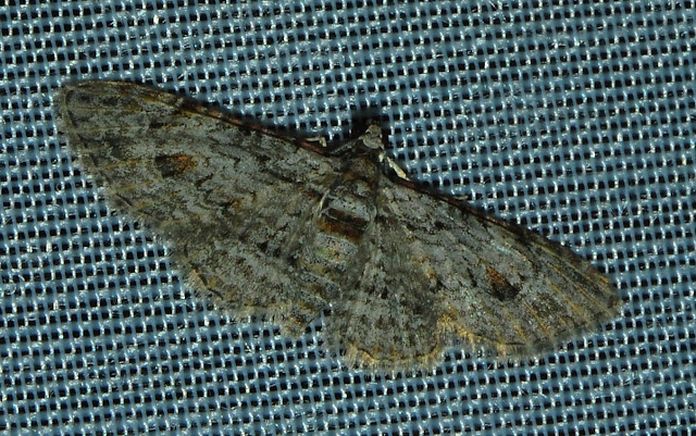Probablement : Geometridae : Larentiinae : Eupitheciini : Chloroclystis insigillata WALKER, 1862 (?). Umina Beach (N. S. W., Australie), 1er janvier 2012. Photo : Barbara Kedzierski