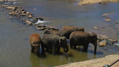 Elephants in river 002