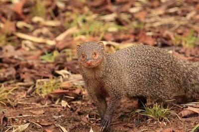 नेवले के बारे में 8 शानदार रोचक तथ्य | 8 Spectacular Interesting Facts About Mongoose