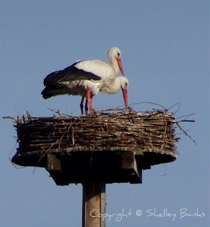 White Stork, Amsterdam. Spring 2017. Copyright © Shelley Banks, all rights reserved.