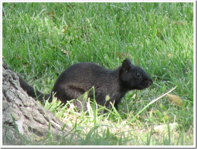 2018-09-16 Kansas, Marysville - Black Squirrel Mammal (1)